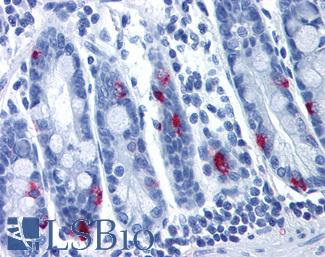 Anti-MLNR antibody IHC of human small intestine. Immunohistochemistry of formalin-fixed, paraffin-embedded tissue after heat-induced antigen retrieval.