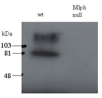 Antibody staining (0.5 ug/ml) of total melanocyte PNS (200 ug per lane) of wild-type and leaden (Mlph null) mice. The upper band may be the stacking-separating gel interface.