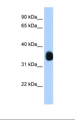 Transfected 293T cell lysate. Antibody concentration: 1.25 ug/ml. Gel concentration: 12%.  This image was taken for the unconjugated form of this product. Other forms have not been tested.