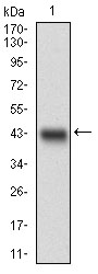 Western blot using MLXIPL monoclonal antibody against human MLXIPL recombinant protein. (Expected MW is 41 kDa)
