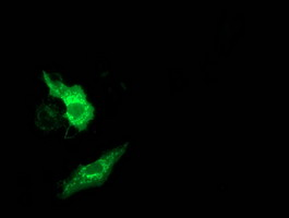 Anti-MMAB mouse monoclonal antibody immunofluorescent staining of COS7 cells transiently transfected by pCMV6-ENTRY MMAB.
