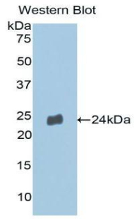 MMP13 Antibody - Western blot of recombinant MMP13 / MMP-13.  This image was taken for the unconjugated form of this product. Other forms have not been tested.