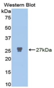 MMP2 Antibody - Western blot of recombinant MMP2 / MMP-2.  This image was taken for the unconjugated form of this product. Other forms have not been tested.
