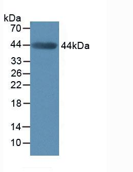 MMP3 Antibody - Western Blot; Sample: Mouse Muscle Tissue.