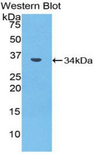 Western blot of recombinant MMP7 / MMP-7.  This image was taken for the unconjugated form of this product. Other forms have not been tested.
