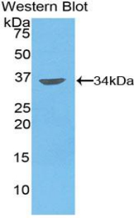 MMP7 / Matrilysin Antibody - Western blot of recombinant MMP7 / MMP-7.  This image was taken for the unconjugated form of this product. Other forms have not been tested.