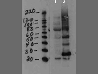 MMTV Antibody - Western Blot of rabbit anti-MMTV antibody. Lane 1: cell lysate negative control. Lane 2: cell lysate spiked with purified virus. Load: 10 µg per lane. Primary antibody: Mouse Mammary Tumor Virus Capsid antibody at 1:1000 for overnight at 4°C. Secondary antibody: rabbit secondary antibody at 1:10,000 for 45 min at RT. Block: 5% BLOTTO overnight at 4°C. Predicted/Observed size: ~26.7kDa, ~28kDa and ~50kDa for MMTV. Other bands: higher bands are not unexpected since proteins are made from a larger precursor.