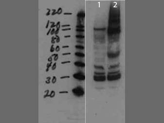 MMTV Antibody - Western Blot of rabbit anti-MMTV antibody. Lane 1: cell lysate negative control. Lane 2: cell lysate spiked with purified virus. Load: 10 µg per lane. Primary antibody: Mouse Mammary Tumor Virus Surface Protein antibody at 1:1000 for overnight at 4°C. Secondary antibody: rabbit secondary antibody at 1:10,000 for 45 min at RT. Block: 5% BLOTTO overnight at 4°C. Predicted/Observed size: ~41.2kDa for MMTV. Other bands: higher bands not unexpected since proteins are made from a larger precursor.