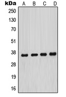 Western blot analysis of MNAT1 expression in HeLa (A); MCF7 (B); A431 (C); NIH3T3 (D) whole cell lysates.