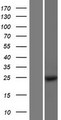 MOB1A Protein - Western validation with an anti-DDK antibody * L: Control HEK293 lysate R: Over-expression lysate
