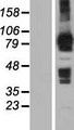 MOCOS / MoCo Sulfurase Protein - Western validation with an anti-DDK antibody * L: Control HEK293 lysate R: Over-expression lysate