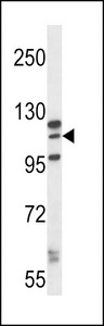 MORC1 Antibody western blot of K562 cell line lysates (35 ug/lane). The MORC1 antibody detected the MORC1 protein (arrow).