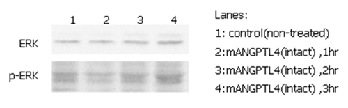ANGPTL4 Protein - ERK phosphorylation induced by hANGPTL4 in THP-1 cells. THP-1 monocyte cells were serum starved for 16 hours and then stimulated with ANGPTL4 (mouse) (rec.) (500ng/ml) for 1, 2 and 3 hours, respectively. Antibodies against pERK1/2 and total ERK1/2 were used for immunoblotting.