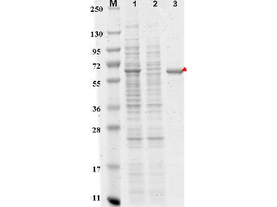 FLAG-Agarose Conjugated - SDS-PAGE of Simple Purification. FLAG- Agarose Conjugated Antibody. Briefly, a 500 ul amount of E. coli cell lysate was added to (bind to) 100 ul Anti-FLAG resin for 1 hour at room temperature. After washing 3 x with 750 ul PBS, bound FLAG-protein was eluted in 200 ul of 0.1 M glycine, pH 2.5 followed with neutralization. Cell lysate, flow through and eluate were loaded on SDS gel for quantification. Lanes (6 ul per lane): M) Molecular Weight markers. 1) Cell lysate before purification. 2) Flow through (used cell lysate). 3) Purified FLAG-tagged recombinant protein (arrowhead).