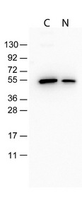 Western Blot-Monoclonal Antibody to detect FLAG conjugated proteins. Monoclonal Antibody to detect FLAG conjugated proteins detects both C terminal linked and N terminal linked FLAG tagged recombinant proteins by western blot.