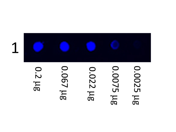 Fluorescein Mouse Anti-Human IgG (H&L) Antibody - Dot Blot. Dot Blot showing the detection of Human IgG. A three-fold serial dilution of Human IgG starting at 200 ng was spotted onto 0.45 um nitrocellulose. After blocking in 5% Blotto (B501-0500) 1 Hour at 20°C, Anti-Human IgG (H&L) (MOUSE) Antibody Fluorescein Conjugated LS-C154316 secondary antibody was used at 1:1000 in Blocking Buffer for Fluorescent Western Blot (p/n MB-070) and imaged using the Bio-Rad VersaDoc 4000 MP. This image was taken for the unconjugated form of this product. Other forms have not been tested.