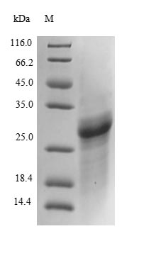 COL4A2 / Collagen IV Alpha2 Protein - (Tris-Glycine gel) Discontinuous SDS-PAGE (reduced) with 5% enrichment gel and 15% separation gel.