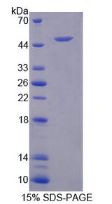 CPA3 Protein - Recombinant Carboxypeptidase A3, Mast Cell By SDS-PAGE