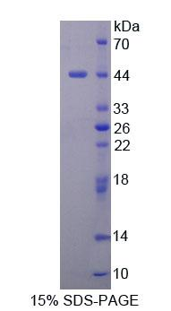 DHPS Protein - Recombinant Deoxyhypusine Synthase By SDS-PAGE