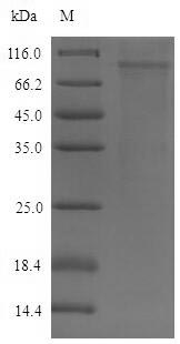 DSG2 / Desmoglein 2 Protein - (Tris-Glycine gel) Discontinuous SDS-PAGE (reduced) with 5% enrichment gel and 15% separation gel.