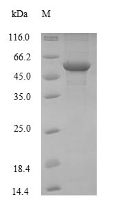 ENO1 / Alpha Enolase Protein - (Tris-Glycine gel) Discontinuous SDS-PAGE (reduced) with 5% enrichment gel and 15% separation gel.