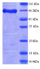 FAM111A Protein