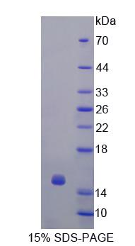 GLRX / Glutaredoxin Protein - Recombinant  Glutaredoxin By SDS-PAGE