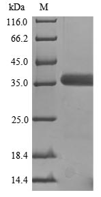 GNAO1 Protein - (Tris-Glycine gel) Discontinuous SDS-PAGE (reduced) with 5% enrichment gel and 15% separation gel.