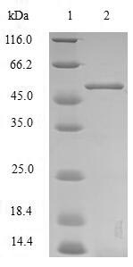 GPC4 / Glypican 4 Protein - (Tris-Glycine gel) Discontinuous SDS-PAGE (reduced) with 5% enrichment gel and 15% separation gel.