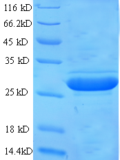 GPC4 / Glypican 4 Protein