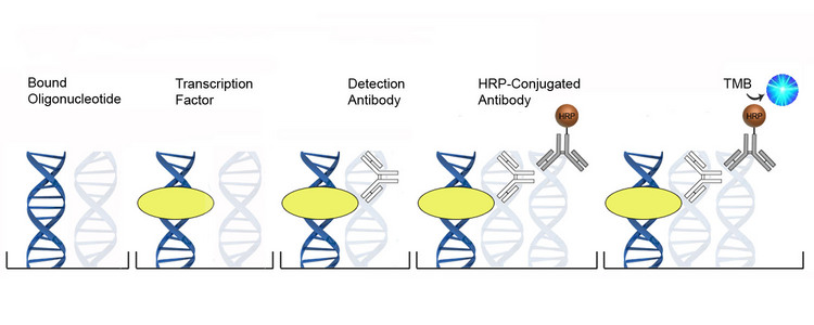 DNA-Binding ELISA Platform Overview