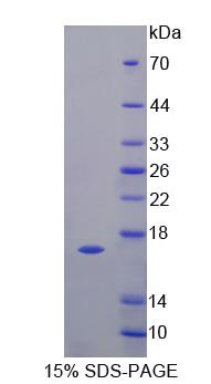 I-BABP / FABP6 Protein - Recombinant  Fatty Acid Binding Protein 6, Ileal By SDS-PAGE