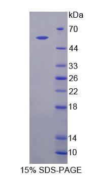 IQGAP1 Protein - Recombinant  IQ Motif Containing GTPase Activating Protein 1 By SDS-PAGE