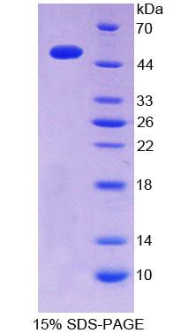 ITPA Protein - Recombinant  InosineTriphosphatase(ITPA) By SDS-PAGE