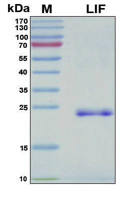 LIF Protein - SDS-PAGE under reducing conditions and visualized by Coomassie blue staining