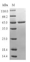 MB / Myoglobin Protein - (Tris-Glycine gel) Discontinuous SDS-PAGE (reduced) with 5% enrichment gel and 15% separation gel.