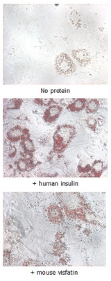 NAMPT / Visfatin Protein - Insulin-mimetic effects on stimulated differentiating 3T3-L1 cells. 10 ug/ml Nampt (mouse) (rec.) (His) or human insulin was added to differentiating 3T3-L1 cells that had been stimulated with 1 uM dexamethasone and 0.5mM IBMX for 2 days. After 5 days, fat droplets were stained with Oil-Red O.