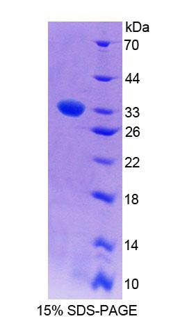 PCYOX1 Protein - Recombinant  Prenylcysteine Oxidase 1 By SDS-PAGE