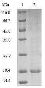 PRND / DOPPEL Protein - (Tris-Glycine gel) Discontinuous SDS-PAGE (reduced) with 5% enrichment gel and 15% separation gel.