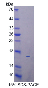 Reg3b Protein - Recombinant  Regenerating Islet Derived Protein 3 Beta By SDS-PAGE
