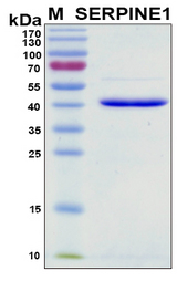 SERPINE1 / PAI-1 Protein - SDS-PAGE under reducing conditions and visualized by Coomassie blue staining