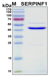 SERPINF1 / PEDF Protein - SDS-PAGE under reducing conditions and visualized by Coomassie blue staining