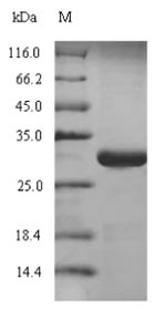 SLAMF7 / CRACC Protein - (Tris-Glycine gel) Discontinuous SDS-PAGE (reduced) with 5% enrichment gel and 15% separation gel.