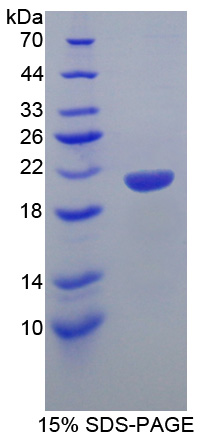 SMARCA3 / HLTF Protein - Recombinant  Helicase Like Transcription Factor By SDS-PAGE