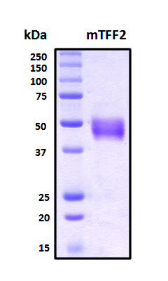 TFF2 / SP Protein - SDS-PAGE under reducing conditions and visualized by Coomassie blue staining