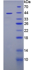 TPP1 / CLN2 Protein - Recombinant  Tripeptidyl Peptidase I By SDS-PAGE