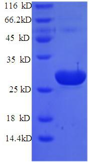 TPT1 / TCTP Protein