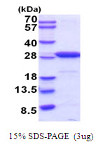 UCHL1 / PGP9.5 Protein