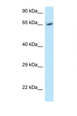 MOXD1 antibody LS-C145787 Western blot of HeLa Cell lysate. Antibody concentration 1 ug/ml.  This image was taken for the unconjugated form of this product. Other forms have not been tested.