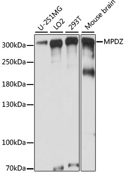 MPDZ / MUPP1 Antibody - Western blot analysis of extracts of various cell lines, using MPDZ antibody at 1:1000 dilution. The secondary antibody used was an HRP Goat Anti-Rabbit IgG (H+L) at 1:10000 dilution. Lysates were loaded 25ug per lane and 3% nonfat dry milk in TBST was used for blocking. An ECL Kit was used for detection and the exposure time was 2s.